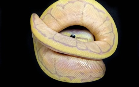 Coral Glow Chocolate Lemonblast Ball Python