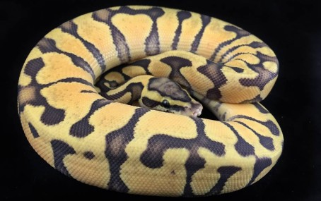 Pastel Enchi Orange Ghost Ball Python