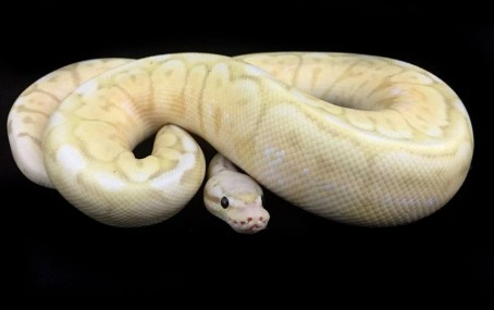 Pewter Bee Coral Glow Ball Python
