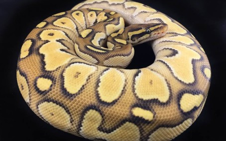 Orange Dream Butter Yellowbelly Ball Python