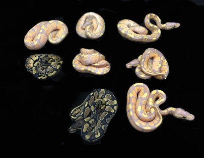 1502 Coral Glow x het Pied Ball Python