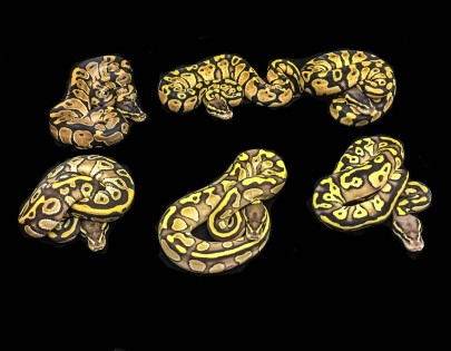 1505 Pastave x Het Daddy Ball Python
