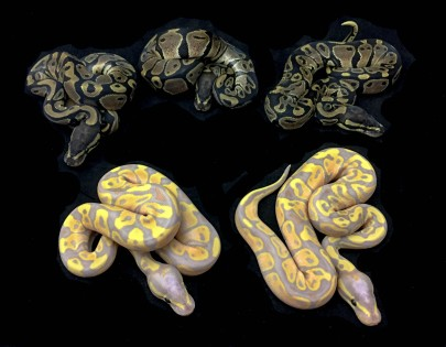 1511 Coral Glow x het Pied Ball Python