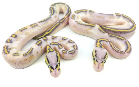 1618 Pastel Gravel het Hypo x Pastel Yellowbelly Ball Python