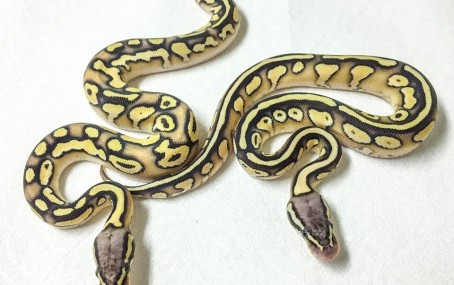 1612 Ivory Orange Dream Butter Pastel x Dinker Ball Python