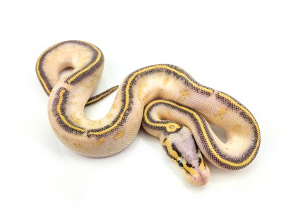 1617 Pastel Gravel het Hypo x Yellowbelly Ball Python