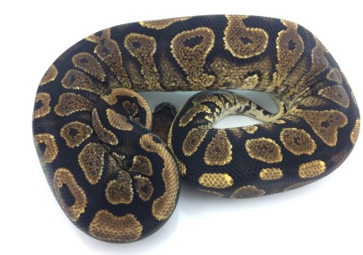 Yellowbelly ph Lavender Albino Ball Python