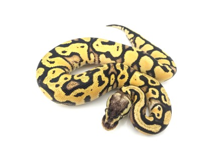 Orange Dream Pastel Yellowbelly Ball Python