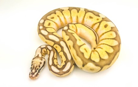 Queenbee Yellowbelly Ball Python