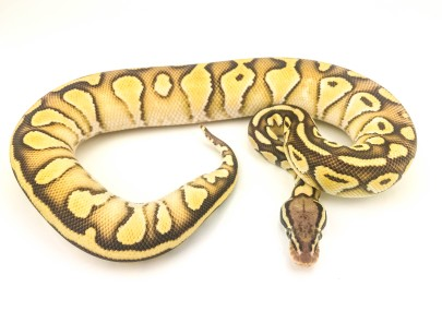 Butter Pastel Yellowbelly ph Pied Ball Python