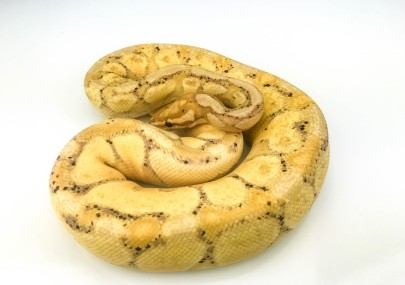 Coral Glow Yellowbelly male breeder Ball Python