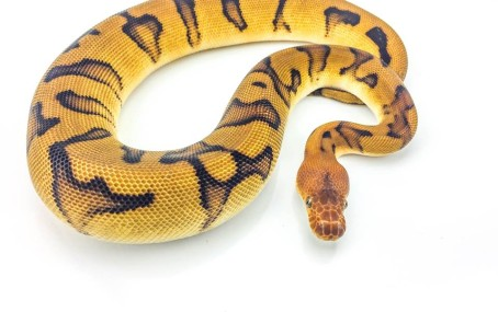 Clown Genetic Stripe Ball Python