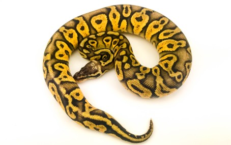 Super Pastel Yellowbelly Ball Python
