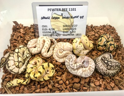 1811 OD Butter Enchi YB x Pewter Bee Ball Python