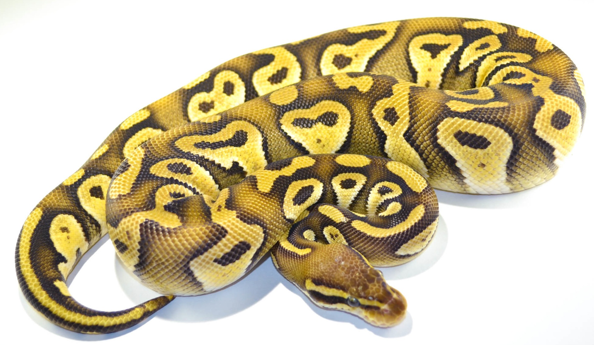 ball python Largest selection of ball python morphs in the world browse 11162 ball python morphs for sale in the united states by genes color-coded to show dominance and zygosity index shows frequency of each trait count and links to ads for sale.